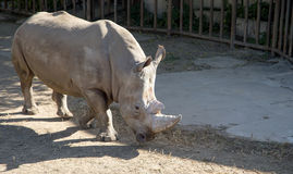 White rhinoceros or square-lipped rhinoceros Stock Photography