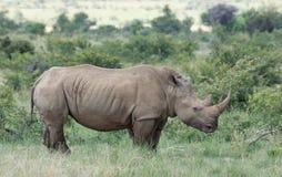 White rhinoceros or square-lipped rhinoceros, Ceratotherium simu Royalty Free Stock Image
