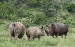 White rhinoceros or square-lipped rhinoceros, Ceratotherium simu Stock Images