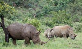 White rhinoceros or square-lipped rhinoceros, Ceratotherium simu Royalty Free Stock Photos