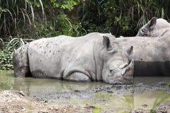 White Rhinoceros,Square-Lipped Rhinoceros , Ceratotherium simum Royalty Free Stock Image