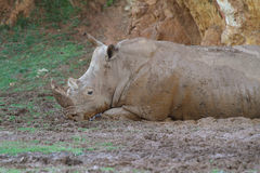White rhinoceros or square-lipped rhinoceros Royalty Free Stock Image