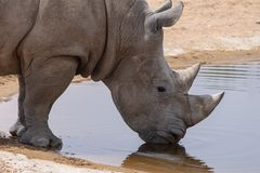 A white rhinoceros or square-lipped rhinoceros Ceratotherium simum drinking at a waterhole stock photography