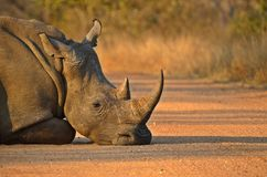 A white rhinoceros or square-lipped rhinoceros Royalty Free Stock Image