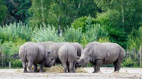 Group of Rhino`s eating, in the background lots of green trees stock photos