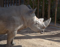 White rhinoceros or square-lipped rhinoceros (Ceratotherium simum) Stock Image