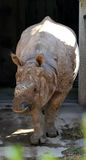 White rhinoceros or square-lipped rhinoceros (Ceratotherium simum) Stock Photos