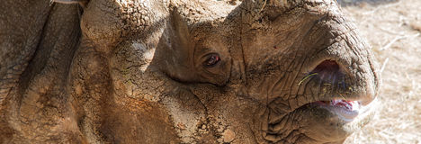 White rhinoceros or square-lipped rhinoceros (Ceratotherium simum) Royalty Free Stock Photos