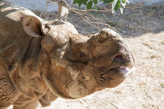 White rhinoceros or square-lipped rhinoceros (Ceratotherium simum) Royalty Free Stock Photography
