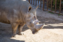 The white rhinoceros or square-lipped rhinoceros Stock Images