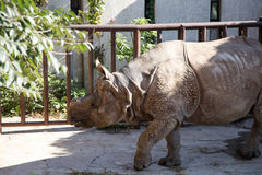 The white rhinoceros or square-lipped rhinoceros Royalty Free Stock Image