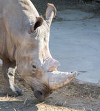White rhinoceros or square-lipped rhinoceros (Ceratotherium simum) Royalty Free Stock Images