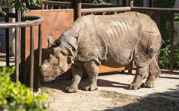 White rhinoceros or square-lipped rhinoceros (Ceratotherium simum) Stock Images
