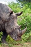 White rhinoceros or square-lipped rhinoceros (Ceratotherium simum). Royalty Free Stock Photography