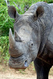 White rhinoceros or square-lipped rhinoceros (Ceratotherium simum). Stock Photos