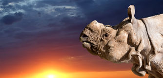 The white rhinoceros or square-lipped rhinoceros Royalty Free Stock Images