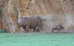 White rhinoceros or square-lipped rhinoceros Royalty Free Stock Photography