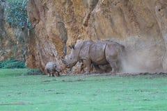 White rhinoceros or square-lipped rhinoceros. (Ceratotherium simum) playing royalty free stock photography