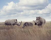 White rhinoceros or square-lipped rhinoceros. In the grassland Stock Photography