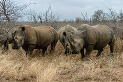 White rhinoceros or square-lipped rhinoceros in Hlane Royal National Park, Swaziland Royalty Free Stock Image