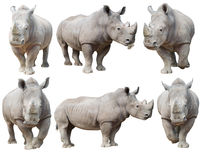 Free White Rhinoceros, Square-lipped Rhinoceros Isolated Royalty Free Stock Photo - 72814165