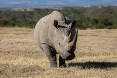 White Rhinoceros in Kenya, Africa stock images