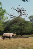 White rhinoceros stay at grass, India Stock Images