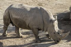 White rhinoceros in the sun of the Spanish desert. White rhinoceros walking in the sun of the Spanish desert. Photograph taken in the Natural Reserve of Tabernas stock photos