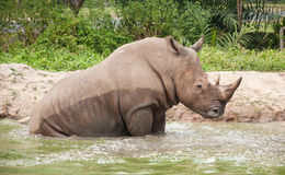White rhinoceros taking bath in pond. Stock Photos