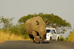 Southern african animals. White rhinoceros at Umfolozi National Park Stock Photo
