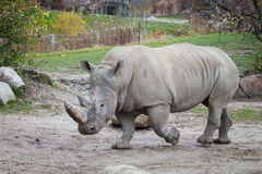 White rhinoceros. Is walking around Stock Photos