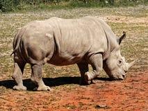White  Rhinoceros. White rhinoceros is walking around. South Africa Royalty Free Stock Photos