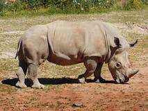 White  Rhinoceros. White rhinoceros is walking around. South Africa Stock Photo