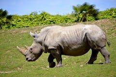 White rhinoceros walking on grass Royalty Free Stock Photography