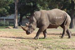 White Rhinoceros. Walking in outdoor zoo Safari in Ramat Gan, Israel Royalty Free Stock Photo