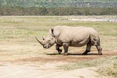 White Rhinoceros walking over flat open landscape Royalty Free Stock Image