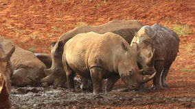 White rhinoceros wallowing in mud stock video footage