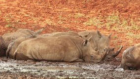 White rhinoceros wallowing in mud stock footage