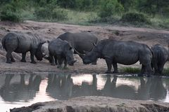 White Rhinoceros At Water Hole Royalty Free Stock Image