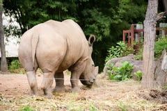 White rhinoceros. In Chiangmai zoo royalty free stock image