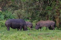 White Rhinoceros in the Wild Royalty Free Stock Photos