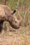 White rhinoceros young in the wilderness. Wild white rhino youngster in the national park Mkuze in Kwazulu Natal in South Africa royalty free stock photography