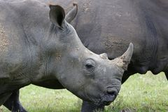 White Rhinocerous Royalty Free Stock Photos