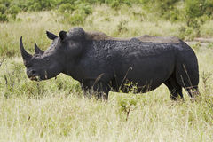 White rhinocerous grazing Royalty Free Stock Photos