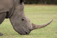 White Rhinocerous Portrait Stock Photography