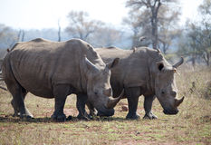 White Rhinocerous Stock Image