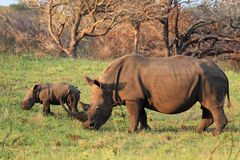 White Rhinos_01 Royalty Free Stock Images