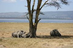 White rhinos Royalty Free Stock Photography