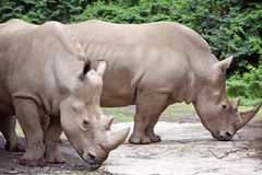 White Rhinos Stock Photography