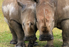 White Rhinos. White Rhino (Ceratotherium simum) Couple, Lake Nakuru, Kenya Stock Photos